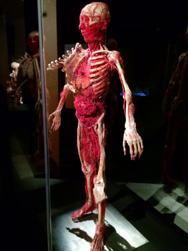 Body Worlds – The Cycle of Life (13)