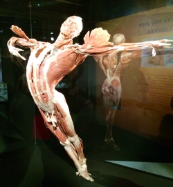 Body Worlds – The Cycle of Life (2)
