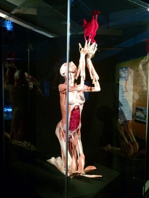 Body Worlds – The Cycle of Life (6)