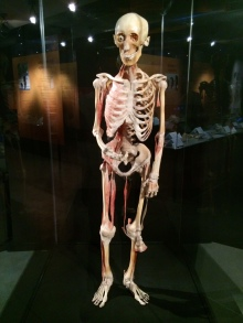 Body Worlds – The Cycle of Life (8)
